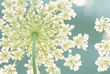 Umbels in the Wild / The inspiration for our company name came from nature. An umbel is a type of flower that has a central node with equidistant rays extending out. We think of it as a data network in a flower. We strive to visually represent your audience data as elegantly as mother nature would have. / by Umbel