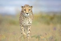 Cheetah ~ Fast And Furious ~ / Nature's Aventador / by Axel Hawk