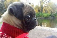 Cute Little Creatures :D / I hope to have a pug of my own some day :)