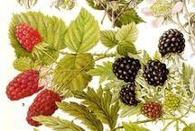 Botanic: Berries