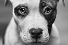 PITBULLS & STAFFIES / I love pit bulls, they are the sweetest and smartest dog ever / by Your Hollywood Portrait Studio