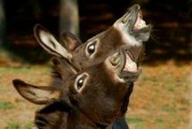 Donkeys / Donkeys, asses, jennets and mules