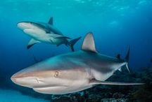 Sharks / Sharks! Amazing critters! Too often misunderstood. Fish are friends, not food.