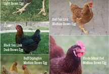 Chickens / How to raise happy chickens