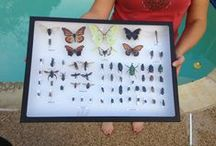 Collect and Display Insects