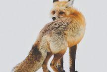 Vulpes Vulpes / Fox..