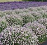 saffron and lavender 201