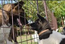 Akita / Amazing dogs