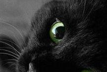 A. Mammifères.  Chats noirs / Chats noirs ou presque. Relation avec sorcellerie et Halloween / by Monique Trépanier