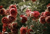 SCENT | Secret Rose Garden / Escape to our secret rose garden and experience the smell of our signature red roses and white rose that can ignite the fond memories of young love in the garden. Organika brings you the most romantic scent in the world.