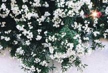 SCENT | Kisses of Jasmine / Jasmine essential oil calms down the mind, body and soul and at the same time brings forth positive and constructive emotions. It gives relief from anxiety and stress.