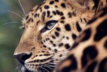 Leopards, Jaguars & Panthers / Leopards, Snow Leopards, Clouded Leopards, Jaguars, Panthers