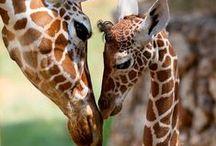Giraffes & Okapis