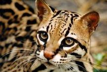 Ocelots, Margays & Oncillas / Ocelots, Margays, Oncillas, Geoffroy's Cats, Pampas Cats, Leopard Cats, Pantanal Cats, Andean Mountain Cats, Colocolos, Kodkods
