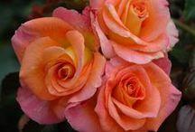 Garden Roses  / Garden Roses Listing