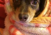 Chihuachx チワックス / mダックスフンドとチワワのいいとこどり!ミックス犬 チワックス〜http://www.chihiro.me/