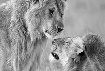Lion <3