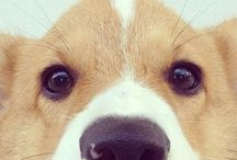 Corgi Fever! (There ain't no cure) / by Sarah Lind