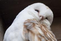 Owls la la