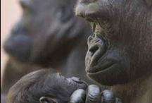 Gorillas, chimp etc