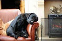 Labradors / A board dedicated to the wonderful labrador retriever
