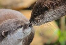 Otterly Cute. / Due to ongoing habitat loss, pollution and hunting in some areas, the Asian short-clawed otter is evaluated as 'vulnerable' on the IUCN Red List of Threatened Species. Call PWP on 01992 470490 to adopt.