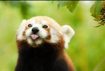 Red Pandas. / Red Pandas are a vulnerable species due to the fragmentation of its natural habitats, their low numbers, and their food specialisation needs. Did you know Red pandas also have fur on the soles of their feet to aid grip on wet branches and to keep them warm?