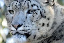 Snow Leopard. / Did you know that Snow leopards are an endangered species? It's thought that there are only around 3,000 left in the wild.