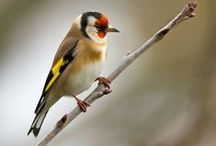 My garden Goldfinch / A collection of Goldfinch,  adults, juveniles and fledglings.