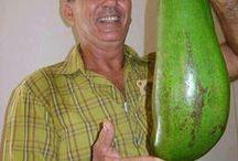 aguacate-avocado