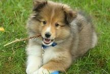 Adorable Collie