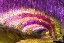 Wisteria  / Wisteria tunnel