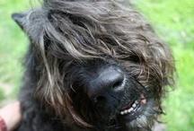 best dog ever / Bouvier des Flandres