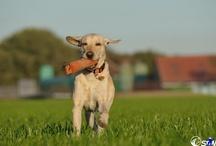 Schnitzel the dog / Labrador