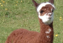 Alpacas from Snowshoe Farm / Award-winning huacaya alpacas in a range of colors live on our Vermont farm.