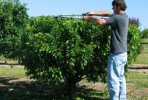 Trees & Shrubs / All about Fruit