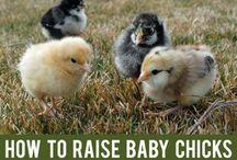 Farming Chickens