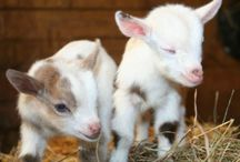 Farming Goats