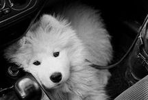 critters - doggies, foxes, general canines / cute and adorable and sweet and loving canines, dogs, foxes, canids, puppies, huskies, wolves, coyotes, dingoes, wild dogs, pet dogs, arctic foxes, mutts, and everyone else. / by Naomi Bardoff