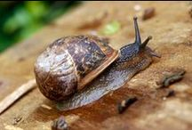 Snails  / Research resources for students to support our AusVELS Biological Science Level 6 Unit