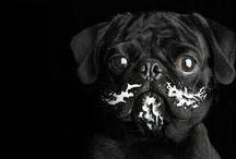 Pug Love / Overdose pug cuteness and crazy pug life