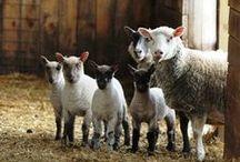 inspiration   sheep farm
