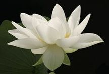 Lovely Lotus Blossoms... / Such a beautiful flower..colour...petals...stands strong and proud...