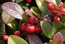 Gaulthérie / Originaire des montagnes Rocheuses de l'Ouest américain, la gaulthérie pousse en altitude. Petite plante vivace de sous-bois, elle arrive à fleurir sans lumière et donc douée d'une grande force vitale intérieure. Ses feuilles sont persistantes et toujours vertes et teintées de pourpre sur le dessus. Ses fleurs sont solitaires, blanches ou rose pâle, en forme de clochettes portées par des tiges érigées. Les fruits sont de fausses baies, d'un rouge écarlate durant tout l'hiver. (M.Faucon)