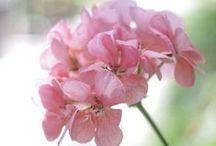 Géranium Rosat / Le géranium rosat est une plante vivace pouvant atteindre 1m de hauteur. Le parfum doux et suave de l'huile essentielle de géranium, plus ou moins capiteux, en fait une essence très utilisée en parfumerie et cosmétique, aux fragrances proches de celles de la rose. (M.Faucon)
