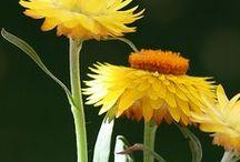 Hélichryse ou Immortelle / L'hélichryse pousse sur les sols sablonneux du bassin méditerranéen. Ses fleurs jaune d'or ne se fanent pas. (M.Faucon)