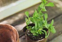 Menthe poivrée / La menthe poivrée est une petite plante vivace qui s'accommode à tous types de sols. La menthe poivrée est vigoureuse et envahit tout (comme son parfum) mais elle est stérile. La récolte des feuilles, souvent à la main, s'effectue avant la floraison. Elles portent des poils sécréteurs d'huile essentielle. (M.Faucon)