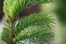 Sapin / Grand arbre à cime conique, très rustique, pouvant atteindre 20 à 40 m de hauteur, avec un tronc d'un diamètre de 1 mètre. Il supporte les températures sibériennes -50°c et se développe lentement entre 600 et 2500 m d'altitude sur des terres gelées en permanence. (M.Faucon)