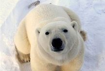 Polar Bear / The most handsome and beautiful beast on earth.