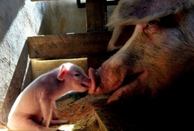 Piggy Kisses / by Oink, Oink, Mini Pigs!